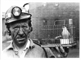 When the Canary dies the Miners know it is time to leave the mine -Photo academia.dk